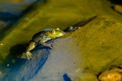 Βόρειος πράσινος βάτραχος στο νερό Στοκ εικόνες με δικαίωμα ελεύθερης χρήσης