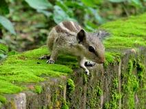 Βόρειος σκίουρος φοινικών Στοκ φωτογραφία με δικαίωμα ελεύθερης χρήσης