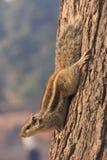 Βόρειος σκίουρος φοινικών (pennantii Funambulus) Στοκ εικόνα με δικαίωμα ελεύθερης χρήσης