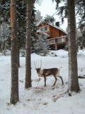 Βόρειος τάρανδος Στοκ φωτογραφίες με δικαίωμα ελεύθερης χρήσης
