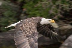 Βόρειος φαλακρός αετός που πετά πέρα από τη λίμνη Winnipesaukee στοκ εικόνα