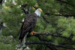 Βόρειος φαλακρός αετός στο πράσινο πεύκο στοκ εικόνες με δικαίωμα ελεύθερης χρήσης
