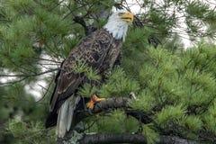 Βόρειος φαλακρός αετός στο πράσινο πεύκο στοκ φωτογραφίες