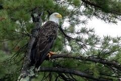 Βόρειος φαλακρός αετός στο πράσινο πεύκο στοκ φωτογραφία με δικαίωμα ελεύθερης χρήσης