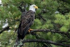 Βόρειος φαλακρός αετός στο πράσινο πεύκο στοκ εικόνες