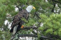 Βόρειος φαλακρός αετός στο πράσινο πεύκο στοκ εικόνα με δικαίωμα ελεύθερης χρήσης