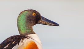 Βόρειος χουλιαράς - Anas clypeata/Spatula clypeata - αρσενικό στοκ εικόνες