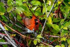 Βόρειο βασικό κόκκινο πουλί στοκ εικόνες με δικαίωμα ελεύθερης χρήσης