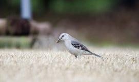 Βόρειο κυνήγι Mockingbird για τα ζωύφια στο χορτοτάπητα της Γεωργίας στοκ εικόνα