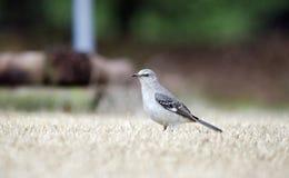 Βόρειο κυνήγι Mockingbird για τα ζωύφια στο χορτοτάπητα της Γεωργίας στοκ εικόνες