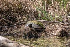 Βόρειο κόκκινος-διογκωμένο χελωνών στην άκρη μιας λίμνης στοκ εικόνες με δικαίωμα ελεύθερης χρήσης