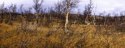 Βόρειο πολικό στριμμένο δάσος (μικροκαμωμένη δασώδης περιοχή) - subzones της ζώνης taiga Στοκ φωτογραφία με δικαίωμα ελεύθερης χρήσης