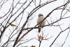 Βόρειο πουλί Shrike στοκ φωτογραφίες με δικαίωμα ελεύθερης χρήσης