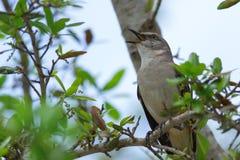 Βόρειο πουλί χλευασμού (polyglottos Mimus) Στοκ φωτογραφίες με δικαίωμα ελεύθερης χρήσης