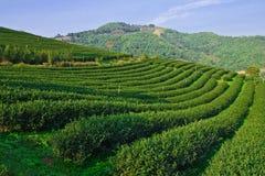 βόρειο τσάι Ταϊλάνδη mountatin κήπων στοκ εικόνα