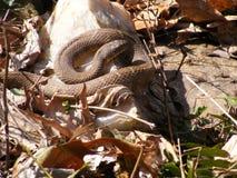 Βόρειο φίδι νερού Στοκ Εικόνες