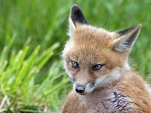 βόρειο φωτογραφισμένο κόκκινο Μινεσότας εξαρτήσεων αλεπούδων στοκ φωτογραφία με δικαίωμα ελεύθερης χρήσης