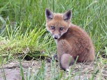 βόρειο φωτογραφισμένο κόκκινο Μινεσότας εξαρτήσεων αλεπούδων στοκ εικόνα με δικαίωμα ελεύθερης χρήσης