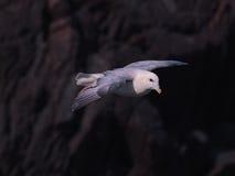 Βόρειο Fulmar κατά την πτήση πέρα από τους απότομους βράχους 3 νησιών Skokholm Στοκ Εικόνα