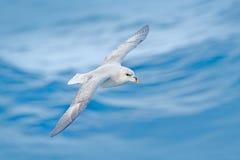 Βόρειο Fulmar, glacialis Fulmarus, άσπρο πουλί, μπλε νερό, σκούρο μπλε πάγος στο υπόβαθρο, ζωικός βιότοπος φύσης πτήσης αρκτικός, Στοκ Φωτογραφίες