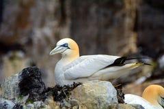 Βόρειο gannet, βαθύς βράχος, Σκωτία Στοκ Εικόνα