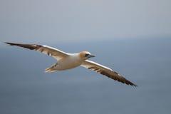 Βόρειο Gannet που πετά στα ύψη πέρα από τα νησιά Saltee, στοκ φωτογραφίες