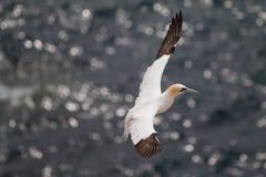 Βόρειο gannet στοκ φωτογραφία με δικαίωμα ελεύθερης χρήσης