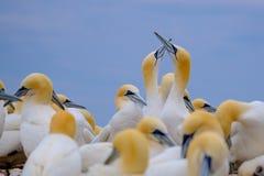 Βόρειο gannet Στοκ Εικόνες