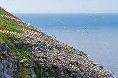 Βόρειο gannet Στοκ Εικόνα