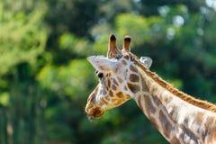 Βόρειο Giraffe πορτρέτο Στοκ Φωτογραφία