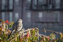 Βόρειο Mockingbird που κοιτάζει επίμονα στο ηλιοβασίλεμα φθινοπώρου στοκ εικόνα με δικαίωμα ελεύθερης χρήσης