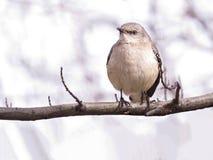 Βόρειο Mockingbird που σκαρφαλώνει σε έναν κλάδο δέντρων, ελαφρύ υπόβαθρο στοκ φωτογραφία