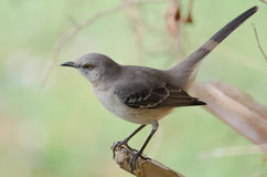 Βόρειο Mockingbird Στοκ φωτογραφίες με δικαίωμα ελεύθερης χρήσης