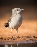 Βόρειο mockingbird Στοκ Εικόνες