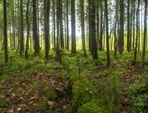 Βόρειο pinewood το καλοκαίρι Στοκ Φωτογραφία