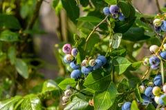 Βόρειο Vaccinium βακκινίων highbush corymbosum - αποβαλλόμενος θάμνος με τα εύγευστα φρούτα στοκ εικόνα με δικαίωμα ελεύθερης χρήσης