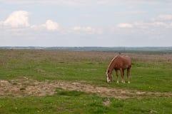 βόσκει το άλογο Στοκ Εικόνες