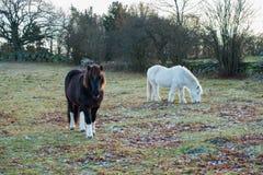 βόσκοντας άλογα δύο Στοκ φωτογραφίες με δικαίωμα ελεύθερης χρήσης