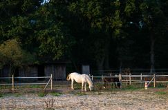 βόσκοντας άλογα Θέση: Γερμανία, North Rhine-$l*Westphalia, Bor στοκ εικόνα με δικαίωμα ελεύθερης χρήσης