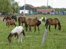 βόσκοντας άλογα κοπαδιών Στοκ εικόνα με δικαίωμα ελεύθερης χρήσης