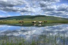 βόσκοντας άλογα κοπαδιώ& Στοκ Εικόνες