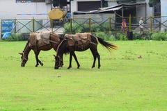 βόσκοντας άλογα Να οδηγήσει σε ένα άλογο πρόκειται να πετάξει χωρίς φτερά στοκ φωτογραφίες με δικαίωμα ελεύθερης χρήσης