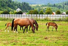 βόσκοντας άλογα πεδίων Στοκ Φωτογραφίες