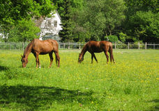 βόσκοντας άλογα Στοκ Εικόνες