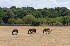 βόσκοντας άλογο επαρχία& Στοκ Εικόνες
