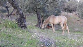 βόσκοντας άλογο απόθεμα βίντεο
