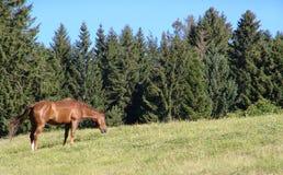 βόσκοντας άλογο Στοκ Φωτογραφία