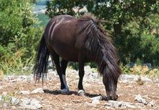 βόσκοντας άλογο Στοκ Εικόνα