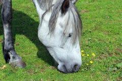 Βόσκοντας άλογο κοντά επάνω Στοκ εικόνα με δικαίωμα ελεύθερης χρήσης