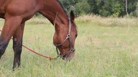 βόσκοντας άλογο κόλπων φιλμ μικρού μήκους